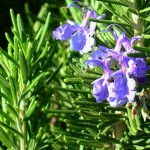 Rosemary Common