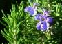 Rosemary - Common