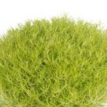 Sagina (Irish Moss) - Lime Moss