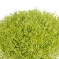 Sagina Lime Moss