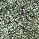 Thyme - Silver Edged