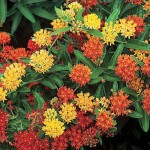 Asclepias tuberosa (Butterfly Weed) - Gay Butterflies Mix