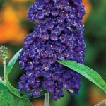 Buddleia davidii (Butterfly Bush) - Black Knight