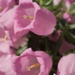 Campanula - medium - Champion Pink