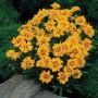 Coreopsis - Rising Sun