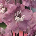 Delphinium - Magic Fountains Cherry Blossom