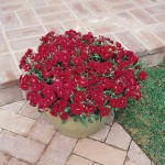 Dianthus barbatus - Dynasty Red