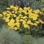 Doronicum orientale - Leonardo™ Compact Yellow