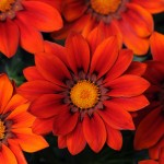 Gazania - New Day Red Shades