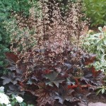 Heuchera (Coral Bells) - Palace Purple Select