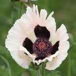 Papaver orientale - Royal Wedding