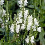Physostegia - Crystal Peak White
