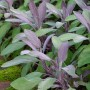 Sage - Purple