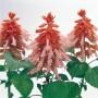 Salvia splendens - Vista Salmon