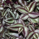 Wandering Jew - Purple
