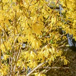 Forsythia - Northern Gold