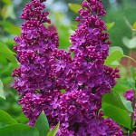 Ludwig Speath Lilac