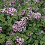 Lilac - Prince Charming®