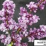 donald Wyman Lilac
