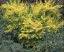 Barberry - Dwarf Golden
