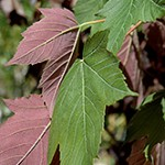 regal petticoat maple