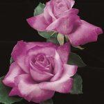 Rose - Fragrant Plum