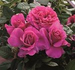 Rose - Pretty Lady Rose™