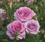 Rose - Violet's Pride™