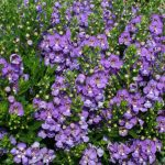 Angelonia - Angelos® Blue