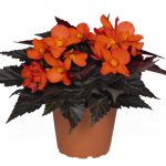 Begonia - I'Conia™ Unstoppable Upright Fire