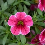 Calibrachoa - Colibri Cherry Lace