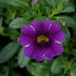 Calibrachoa - Colibri Purple Lace