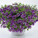 Calibrachoa - Noa™ Violet