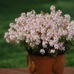 Diascia - Sundiascia® Upright Blush White