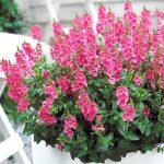 Diascia - Sundiascia® Upright Bright Pink