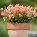 Diascia - Sundiascia® Upright Peach