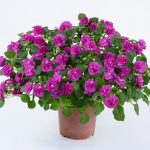 Impatiens - Musica™ Electric Purple