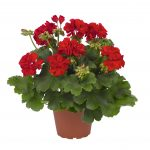 Geranium - Interspecific - Roaring Dark Red