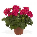 Geranium - Interspecific - Roaring Deep Rose
