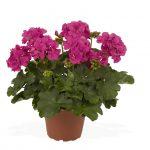 Geranium - Interspecific - Roaring Lilac