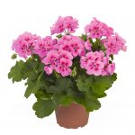 Geranium - Interspecific - Roaring Rose Splash