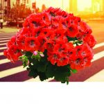 Geranium - Regal Elegance™ Orange