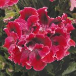 Geranium - Regal Elegance­™ Red Violet