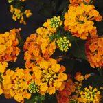 Lantana - Chapel Hill Sunset Orange