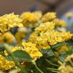 Lantana - Chapel Hill Yellow