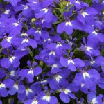 Lobelia - Hot™ Brilliant Blue