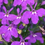 Lobelia - Hot® Purple