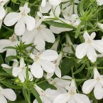 Lobelia - Hot® Snow White