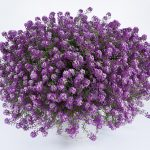 Lobularia - Stream™ Deep Lavender Stream