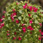 Lophospermum - Lofos Compact Rose